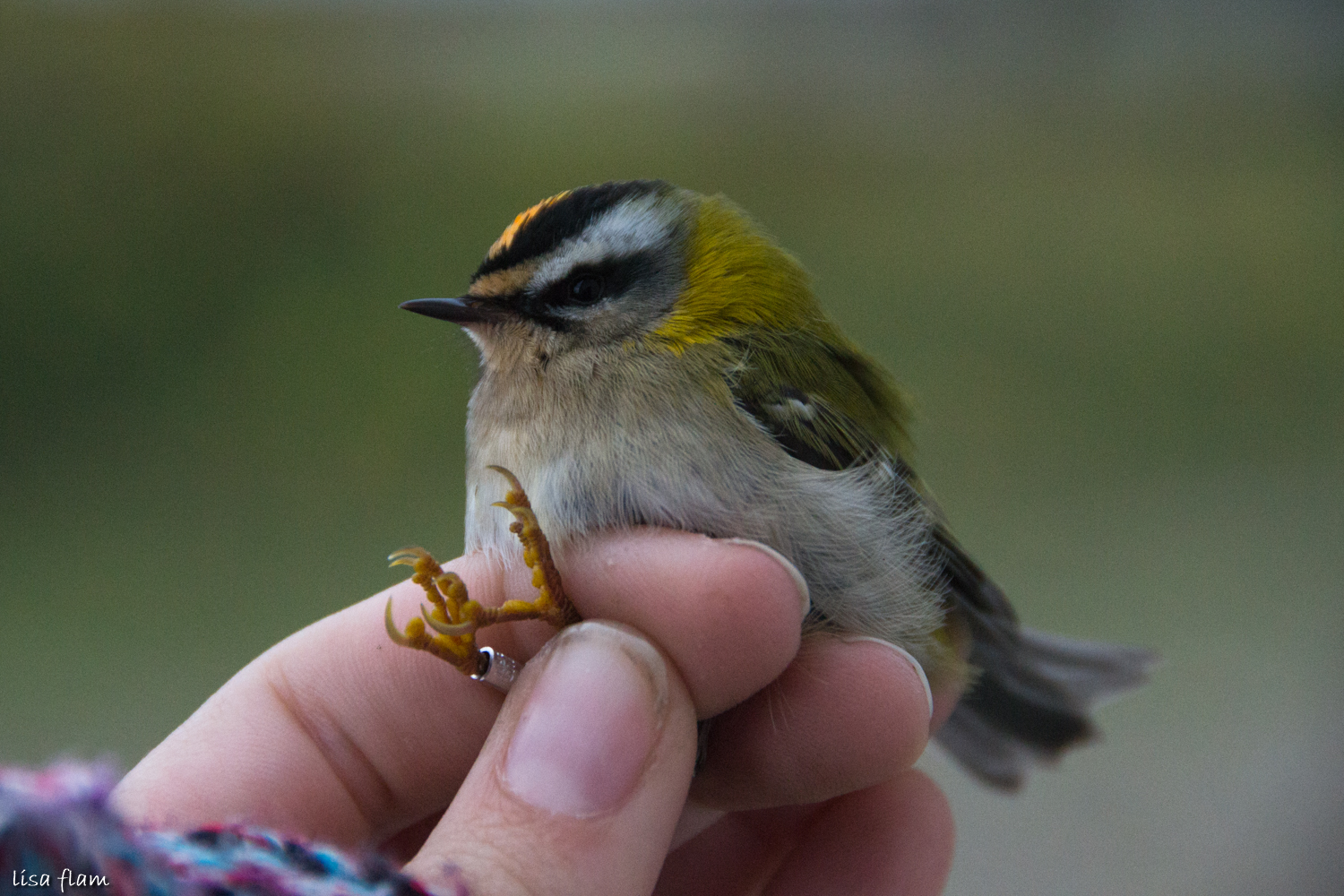 firecrest male 1