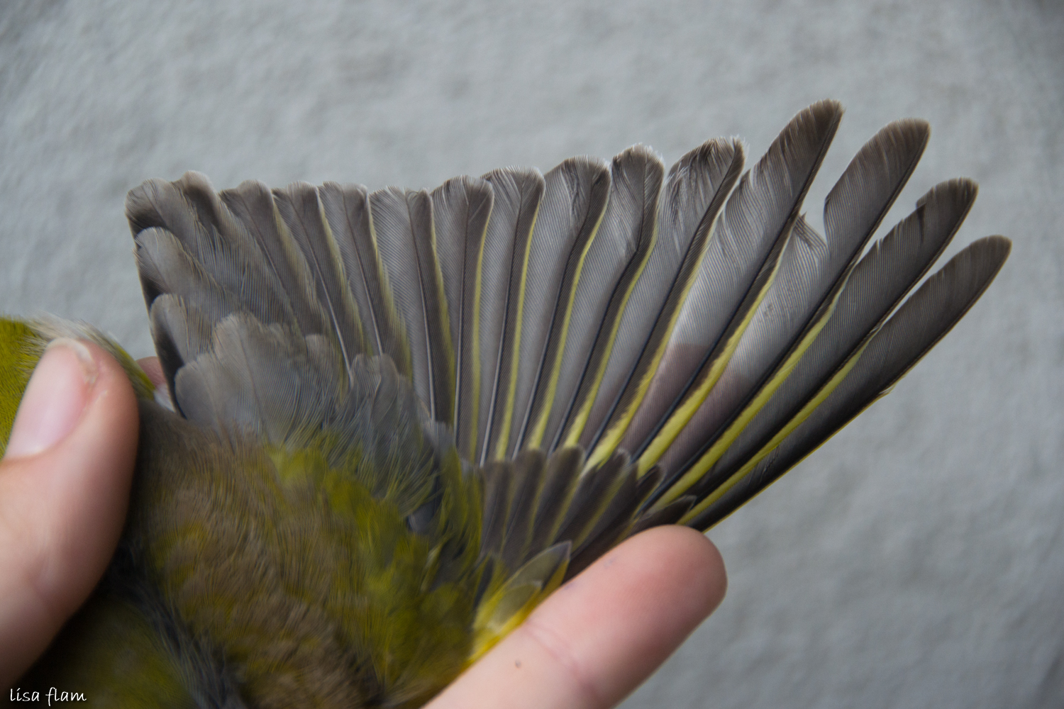 greenfinch wing